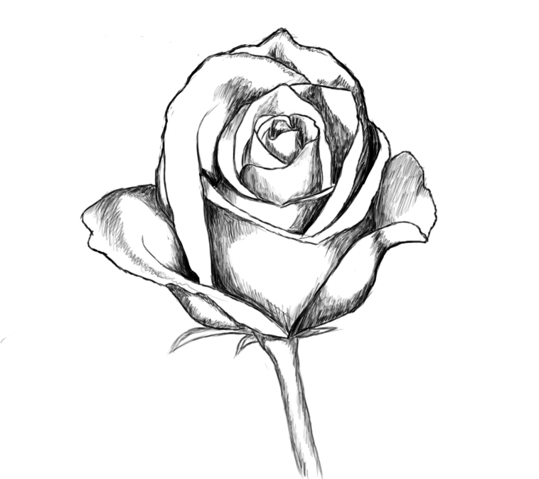 Pics Photos Draw A Rose How To Easy